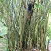 Photo: Ger climbing bamboo