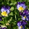 Photo: Blue/purple flowers