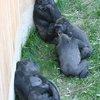 Photo: Gorillas