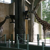Photo: Giraffes