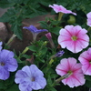 Photo: (keyword petunias)