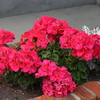 Photo: Pink geraniums with dusty miller
