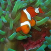Photo: Clown fish