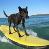 Photo: Surfing dog