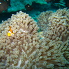 Photo: Clownfish and anemone