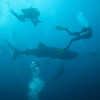 Photo: Divers and whale shark