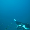 Photo: Manta ray
