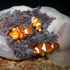 Photo: Clownfish and anemone