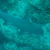 Photo: White-tipped reef shark
