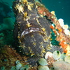 Photo: (keyword frogfish)