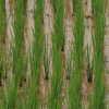 Photo: Rice