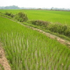 Photo: Rice field